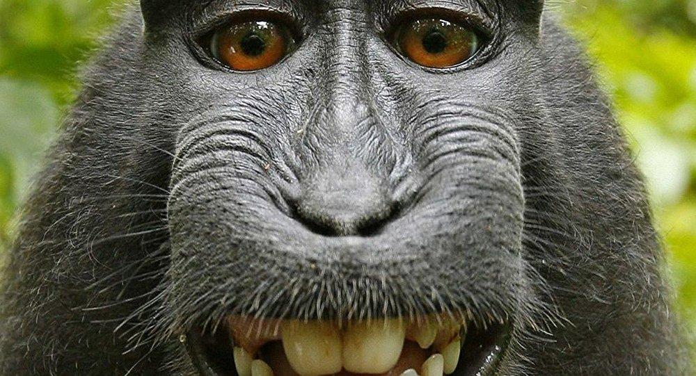 A makákó majom esete a szerzői joggal
