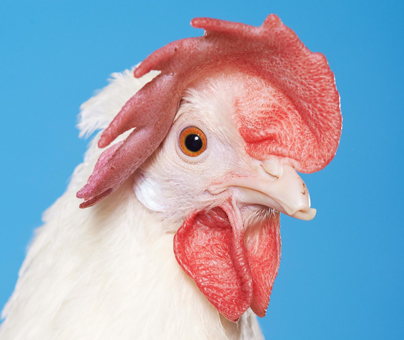 A magyar fotóművész, aki arcról felismer többszáz csirkét